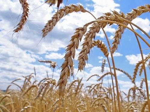 Заяц: Беларусь по урожаю зерновых достигнет прошлогоднего результата