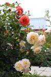 Summer Song и Crocus Rose®