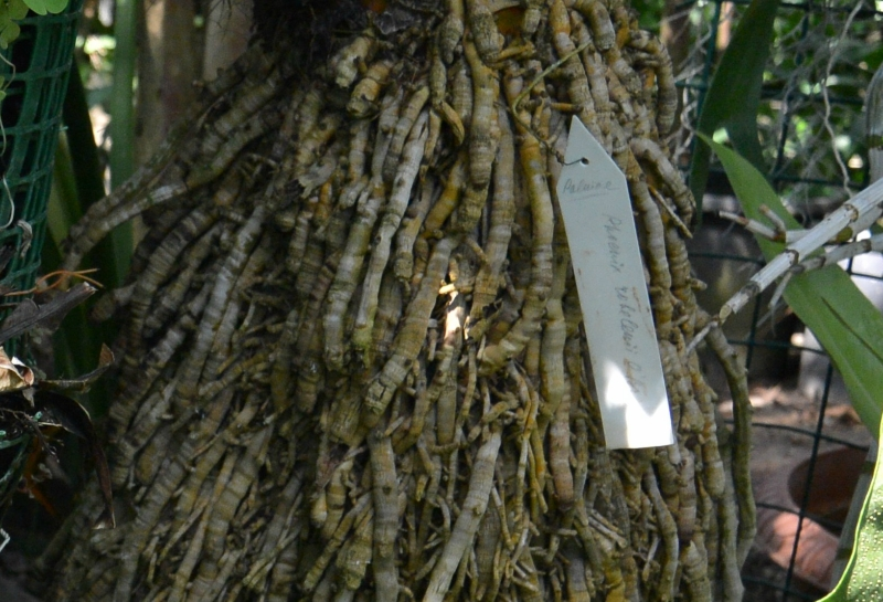 Финиковая пальма.Корни.JPG