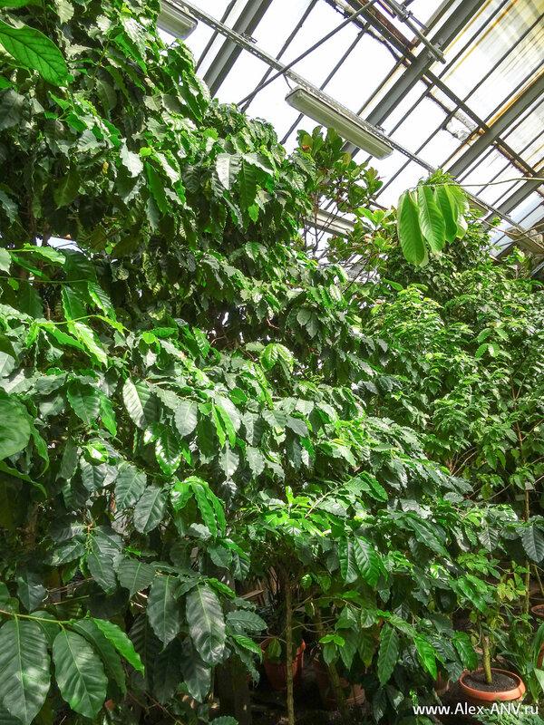 Эти невзрачные зелёные кустики должны знать и уважать все кофеманы - ведь благодаря плодам этих растений мы можем пить по утрам вкусный кофе.