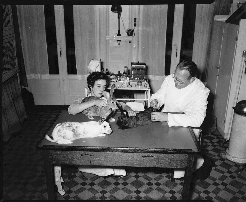 Inenting van konijnen tegen Myxomatose door dierenarts Dr. Gajentaan, 18 september 1953Foto Ben van Meerendonk / AHF, collectie IISG, Amsterdam