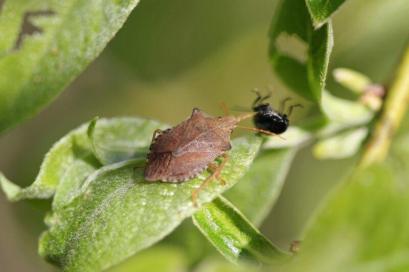 Хищный клоп-щитник арма ольховая (Arma custos) высасывает жука на листе ивы