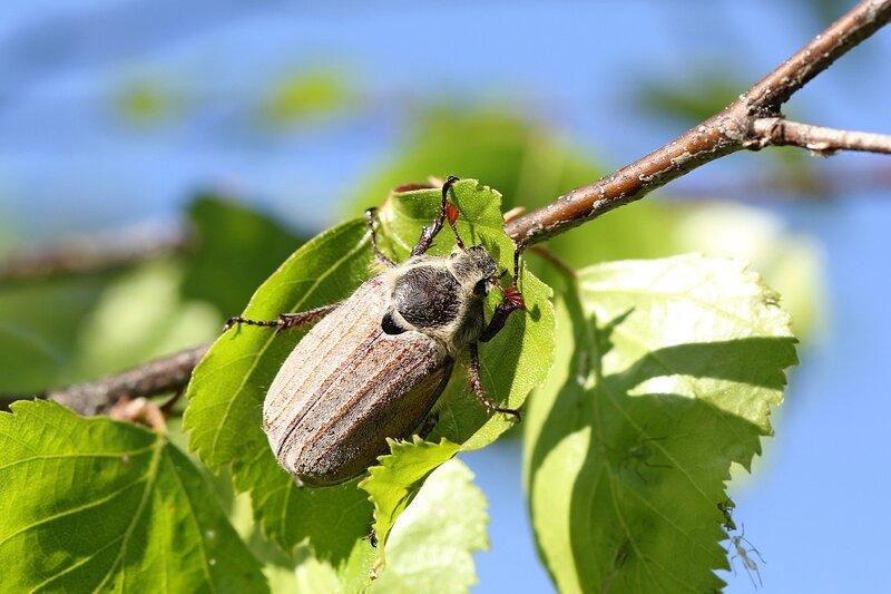 Майский жук (лат. Melolontha hippocastani, Хрущ майский восточный) на берёзовом листе