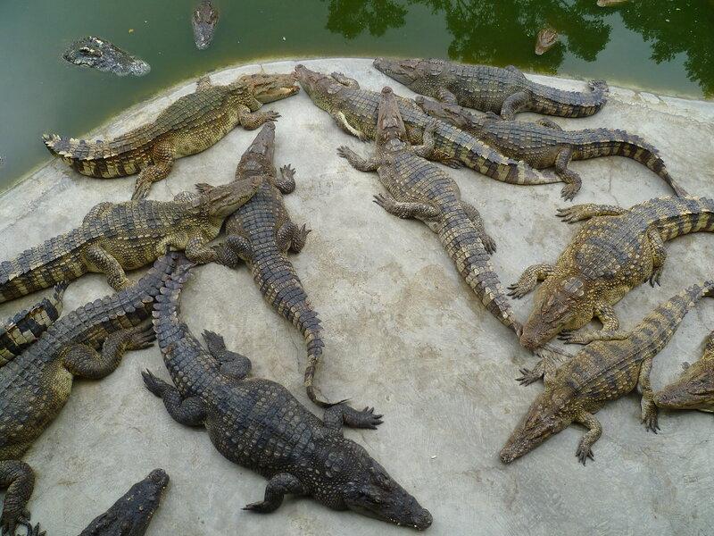 Крокодилы в Таиланде (Крокодилы в Таиланде)