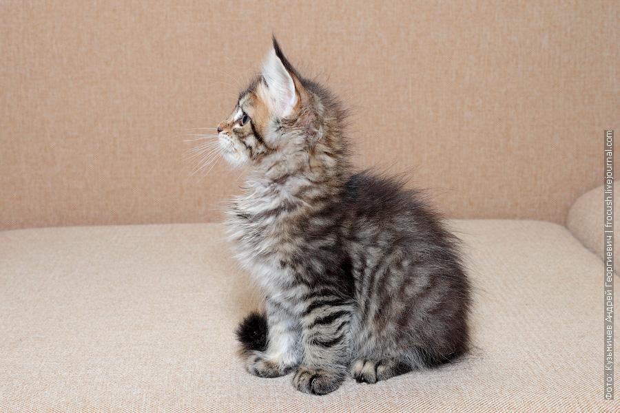питомник Мейн-кун продажа котят