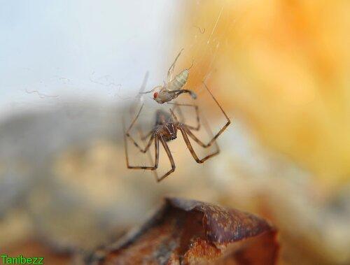 Лептифантес / Lepthyphantes Nebulosus и новорожденная дрозофила