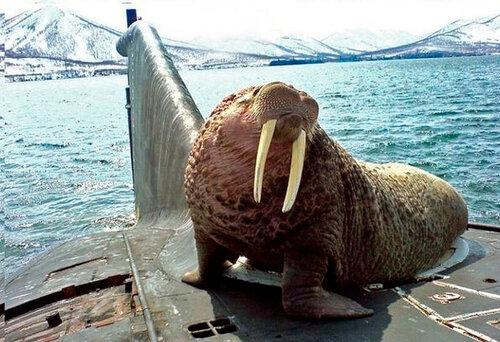 Удивительное фото - морж на подводной лодке