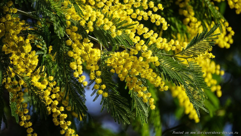 мимоза, Акация серебристая (Acacia dealbata), которую у нас называют мимоза