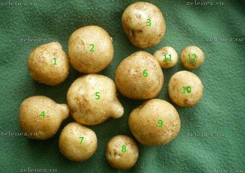 Урожай картофеля из ведра крупным планом.