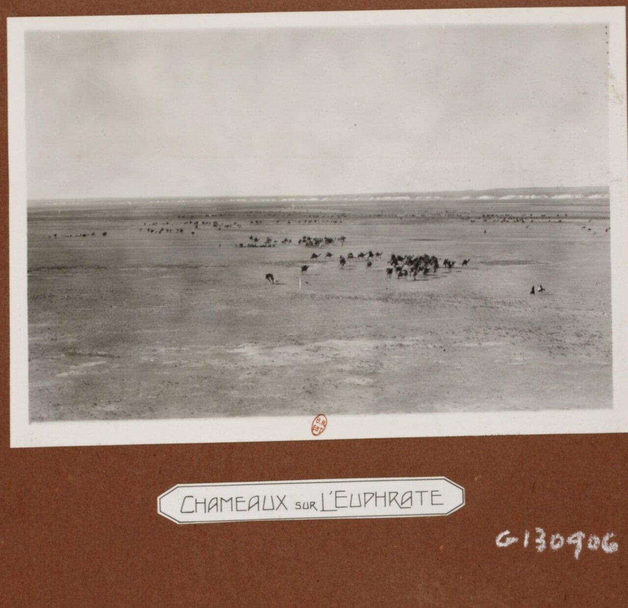 Верблюды на Евфрате