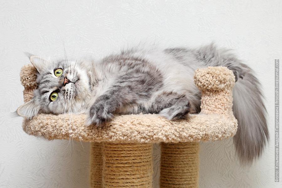 кошка Мейн-кун бесплатно