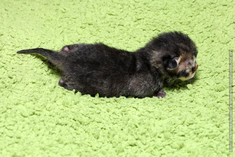 новорожденные котята Бомбеи нетрадиционных окрасов из питомника