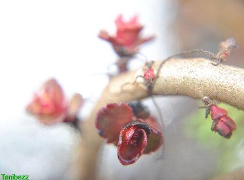 """Очиток (седум) Ложный """"Пурпуреа"""" / Sedum Spurium """"Purpurea"""""""