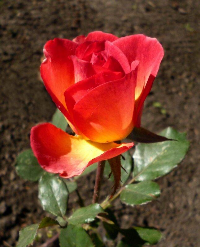 Роза октября