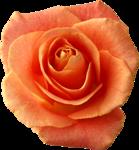 Holliewood_RoseIsARose_Rose21.png