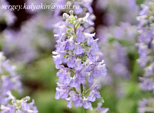 Nepeta grandiflora Summer Magic.JPG