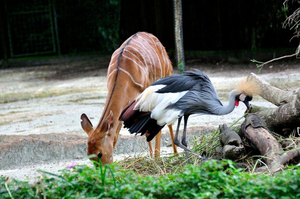 антилопа ньяла и венценосный журавль