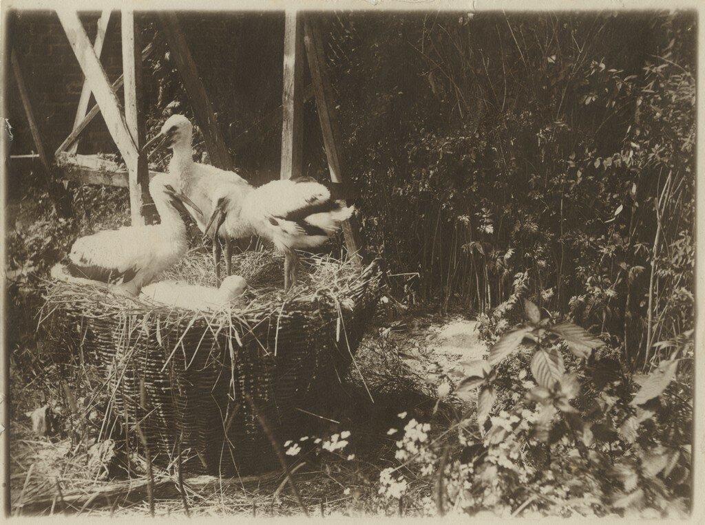 1900-е. Гнездо аиста где-то в саду усадьбы