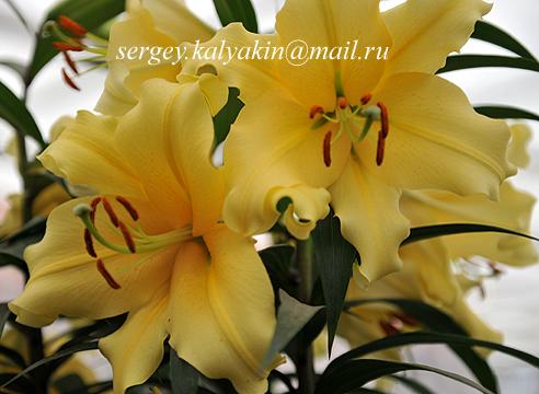 Lilium Zirconia.JPG