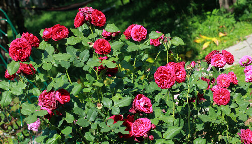 Астрид графин фон харденберг роза отзывы