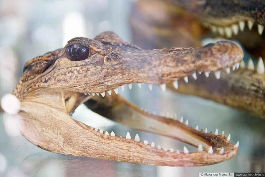 Челюсти крокодила в музее ракушек Корфу