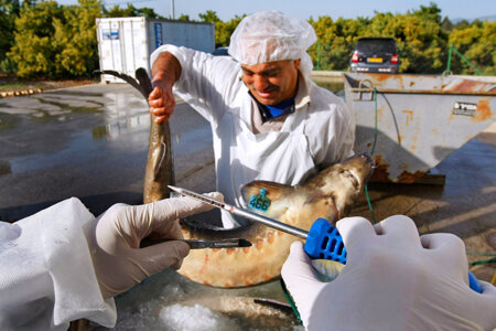 KIBBUTZ DAN, ISRAEL - APRIL 22: An Israeli marine biologist uses a special instrument to check the eggs of a live female sturgeon, which could hold as much as two kilograms of roe inside of her, before the fish is taken into a caviar processing plant on