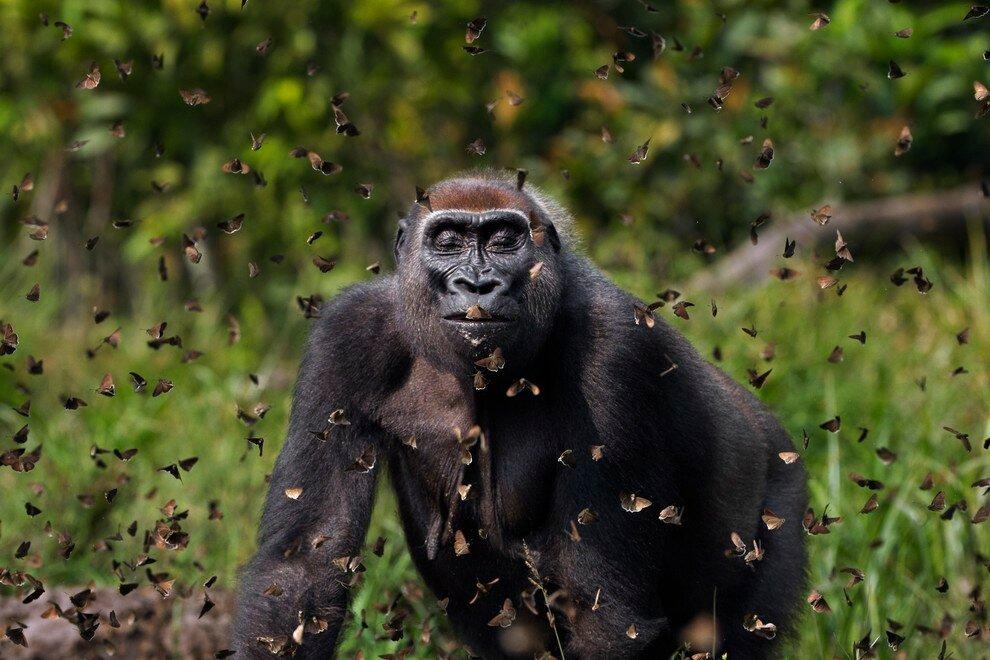 Горилла и бабочки в национальном парке Дзанга-Санга