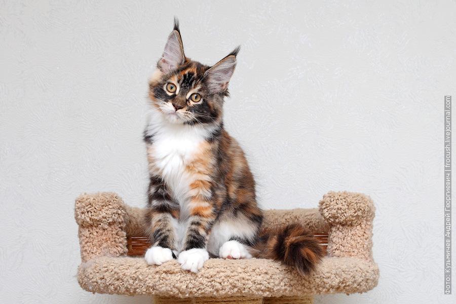 цена котенка Мейн-кун