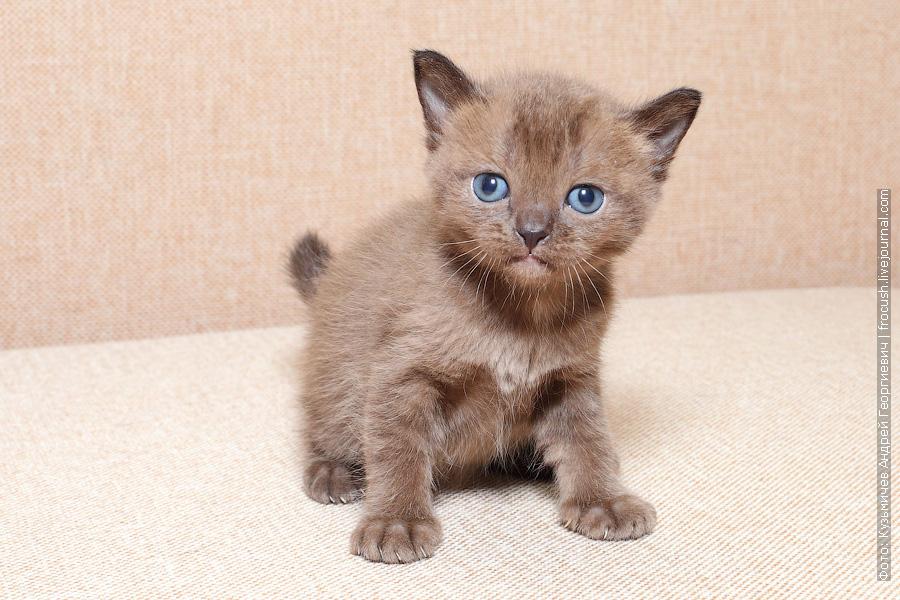 Бомбейский котенок купить