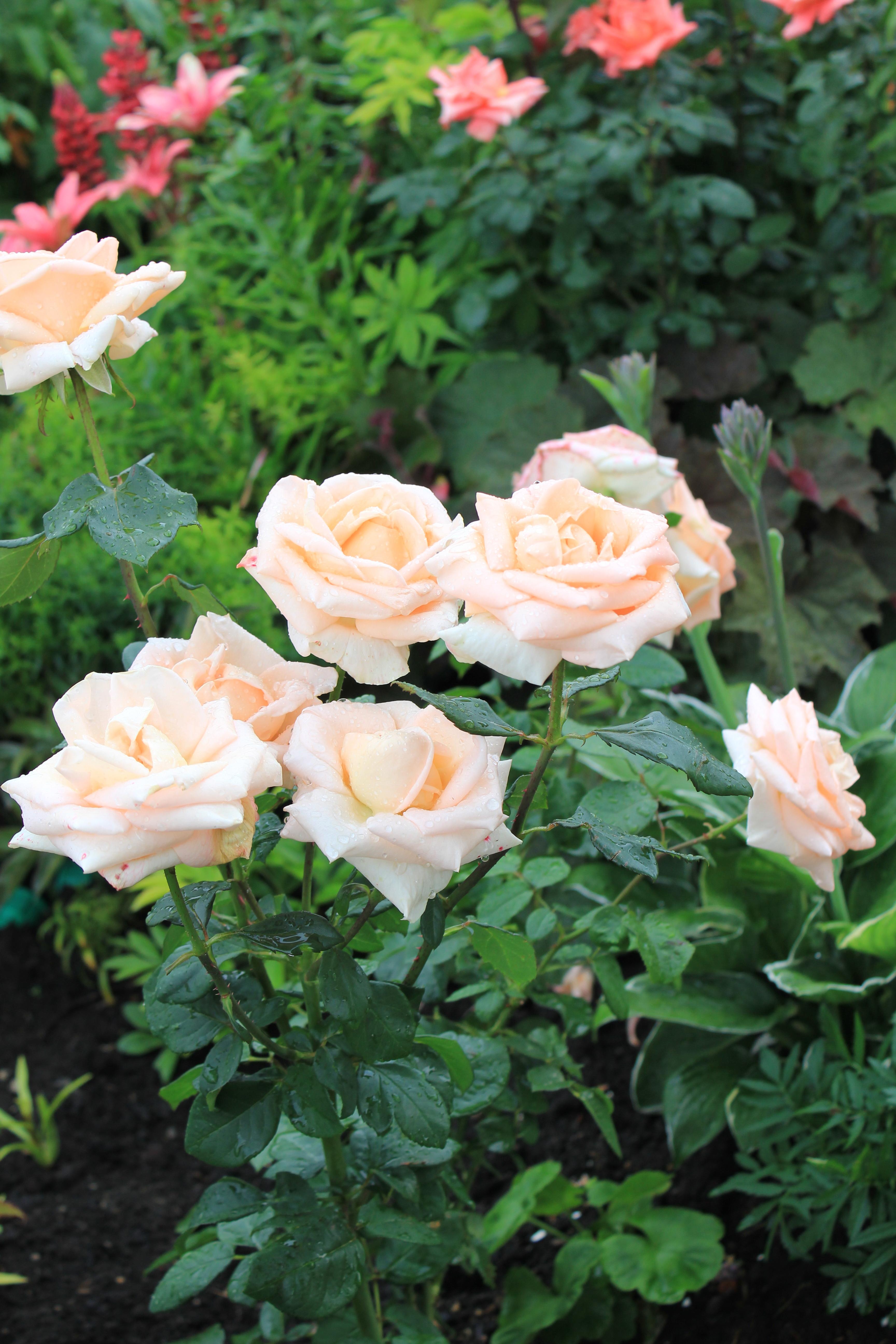 Роза бриллиантовая свадьба фото и описание
