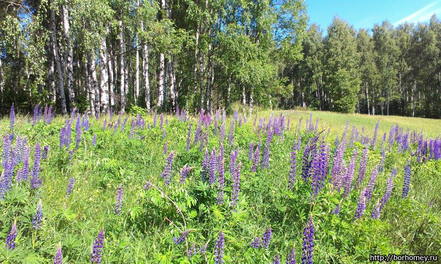 поле с фиолетовыми цветами