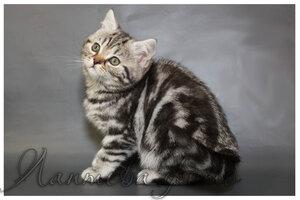 черный черепаховый серебристый мраморный кошкабританскаякороткошерстная