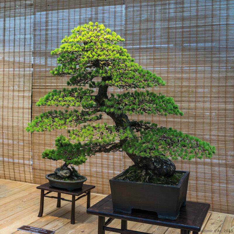 Сосна мелкоцветковая (белая японская сосна). Возраст - около 100 лет.