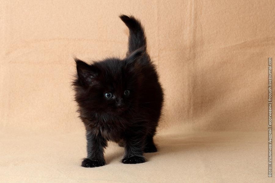 продается черный котенок мейн кун