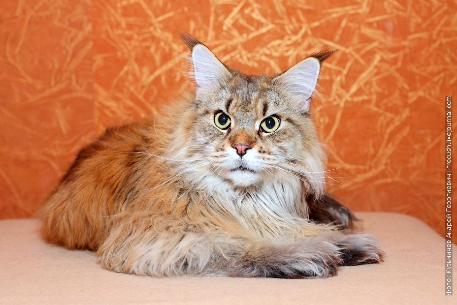 кошка Мейн-кун пушистая