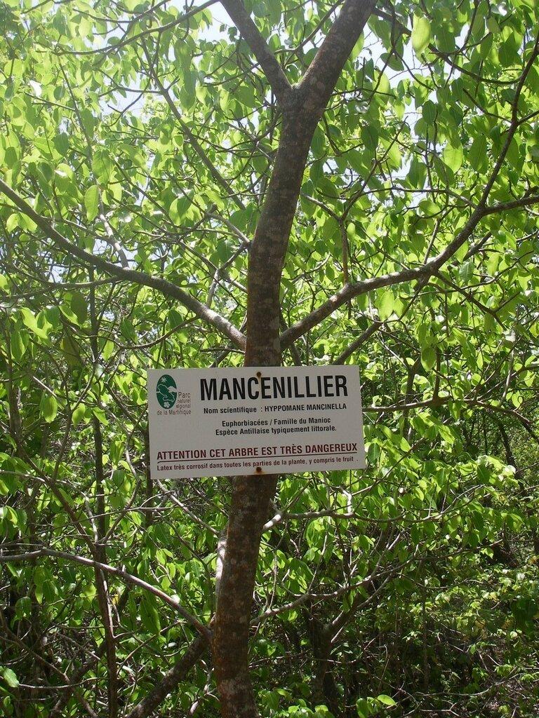 Самое опасное в мире дерево