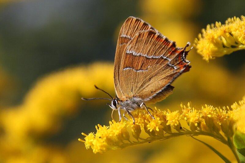 Бабочка Березовый зефир (хвостатка березовая) (Thecla betulae)  на жёлтых цветках северной мимозы 7292