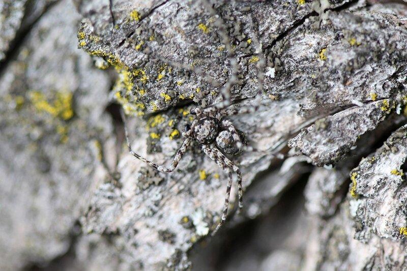 Мастер маскировки: серый паук на коре дерева