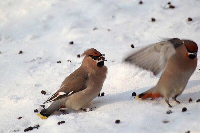 Свиристель на снегу подбирает ягоды рябины
