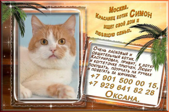 Москва. Красавец котик Симон ищет свой дом и любящую семью.