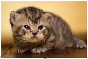 черная черепаховая пятнистая британская короткошерстная кошка