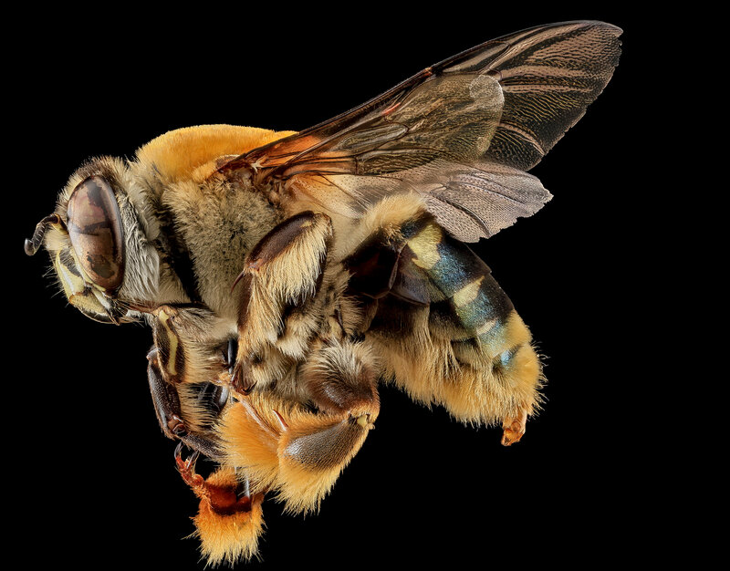 Пчела Centris Decolorata