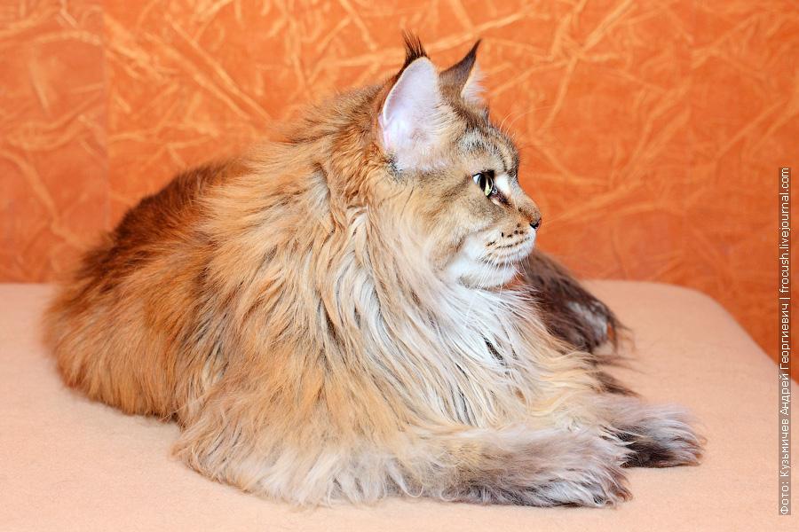 кошка Мейн-кун из питомника