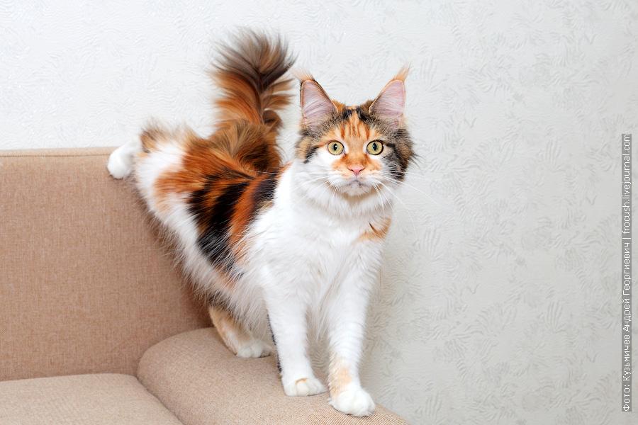 Москва кошка Мейн-кун