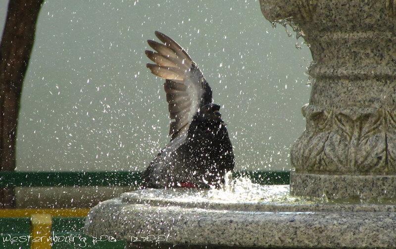 1270.01 Купание голубя
