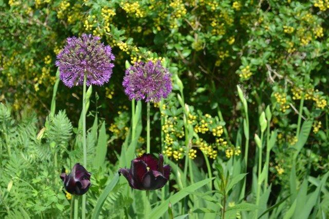 Тюльпаны и декоративный лук