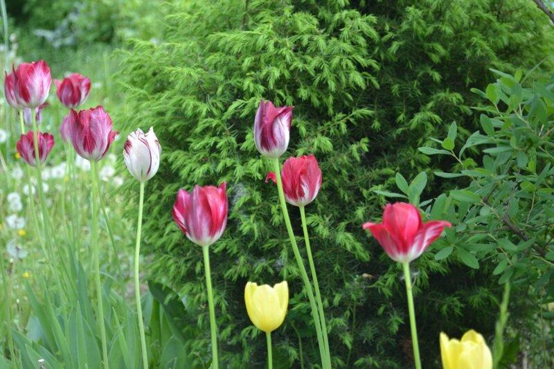 Тюльпаны и можжевельник