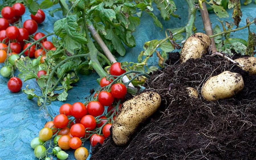 Гибрид помидоры с картошкой