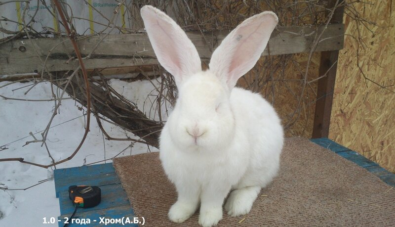 Бельгийский Великан(Обр,Ризен,Фландр) Кролики гиганты.часть 2 - Страница 5 0_d5153_849ff51_XL