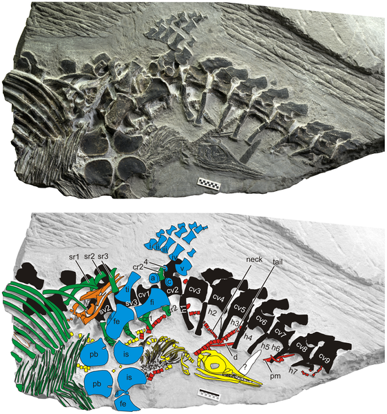 The maternal specimen with three embryos.Color coding indicates: black, maternal vertebral column, including neural and haemal spines; blue, maternal pelvis and hind flipper; green, maternal ribs and gastralia. Embryos 1 and 2 are in orange and yellow, re